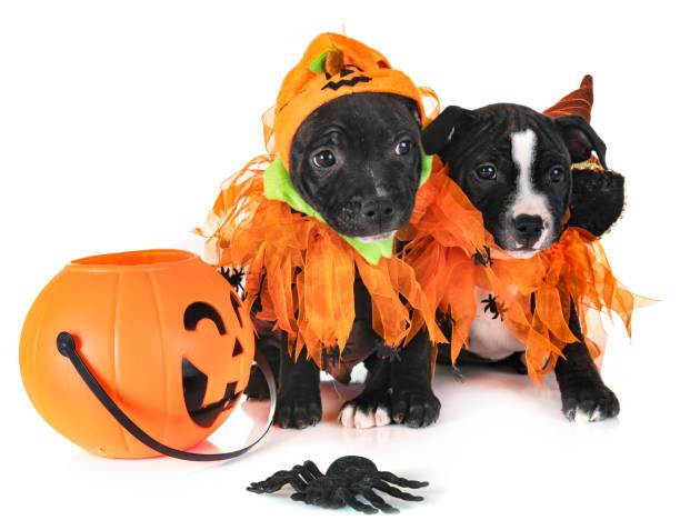 welpen staffordshire bull terrier - hund spinnenkostüm stock-fotos und bilder
