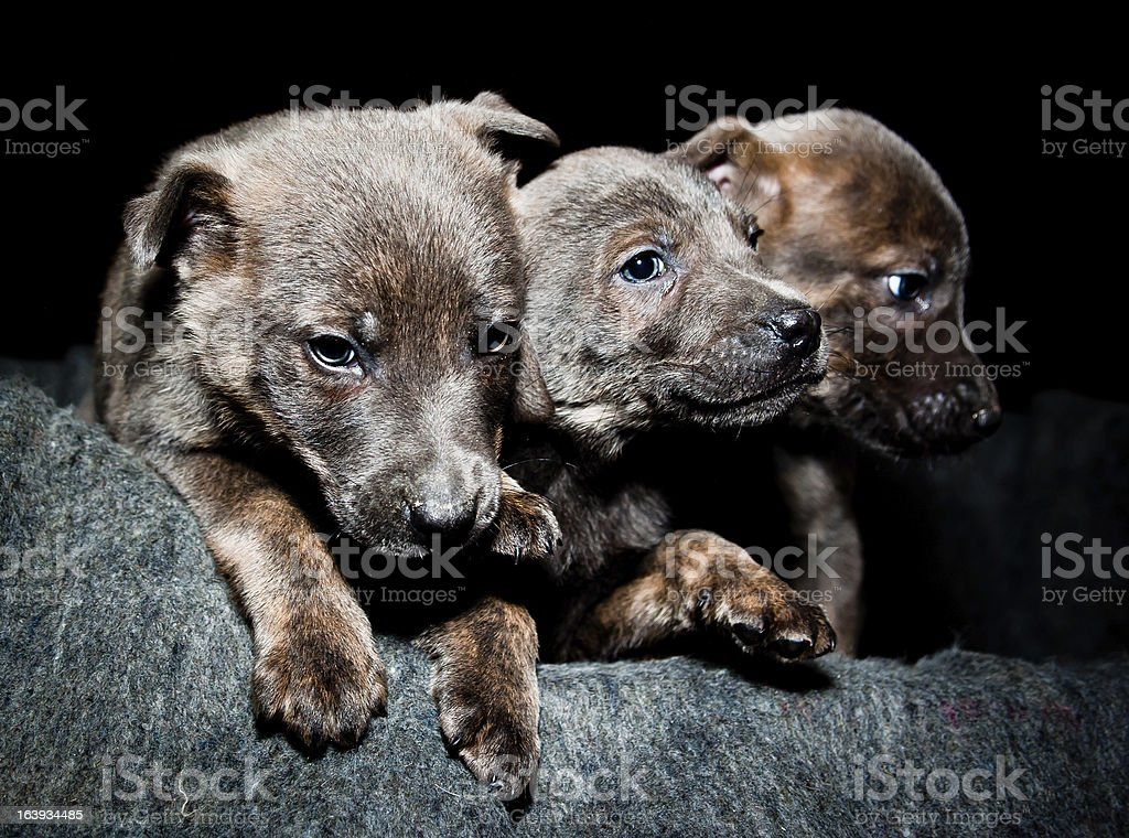 Puppies wait in bed royalty-free stock photo