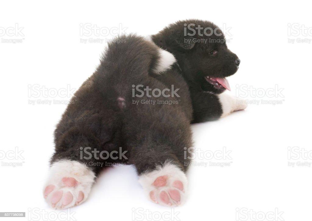 puppy american akita - foto stock