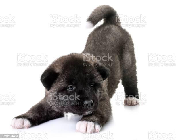 Puppy american akita picture id923594434?b=1&k=6&m=923594434&s=612x612&h=hjb5y4ezhfhz7ptbv19lz8mhtasnhtximhdg54yp23w=
