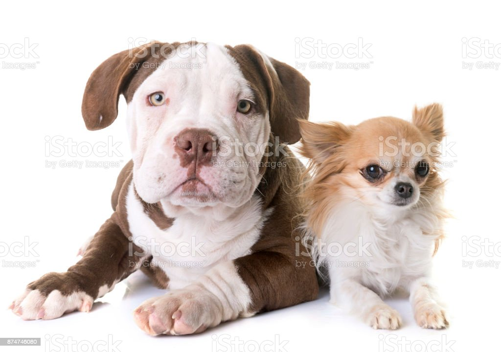 puppy american bully and chihuahua stock photo