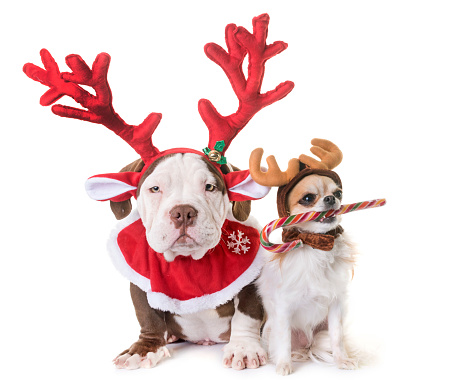 puppy american bully, chihuahua and christmas in front of white background