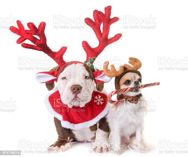 Puppy american bully and chihuahua picture id874746216?b=1&k=6&m=874746216&s=612x612&h=ddnlqcuglyx9ciyrmxn3p 42pdxegpc26u8vyythizy=