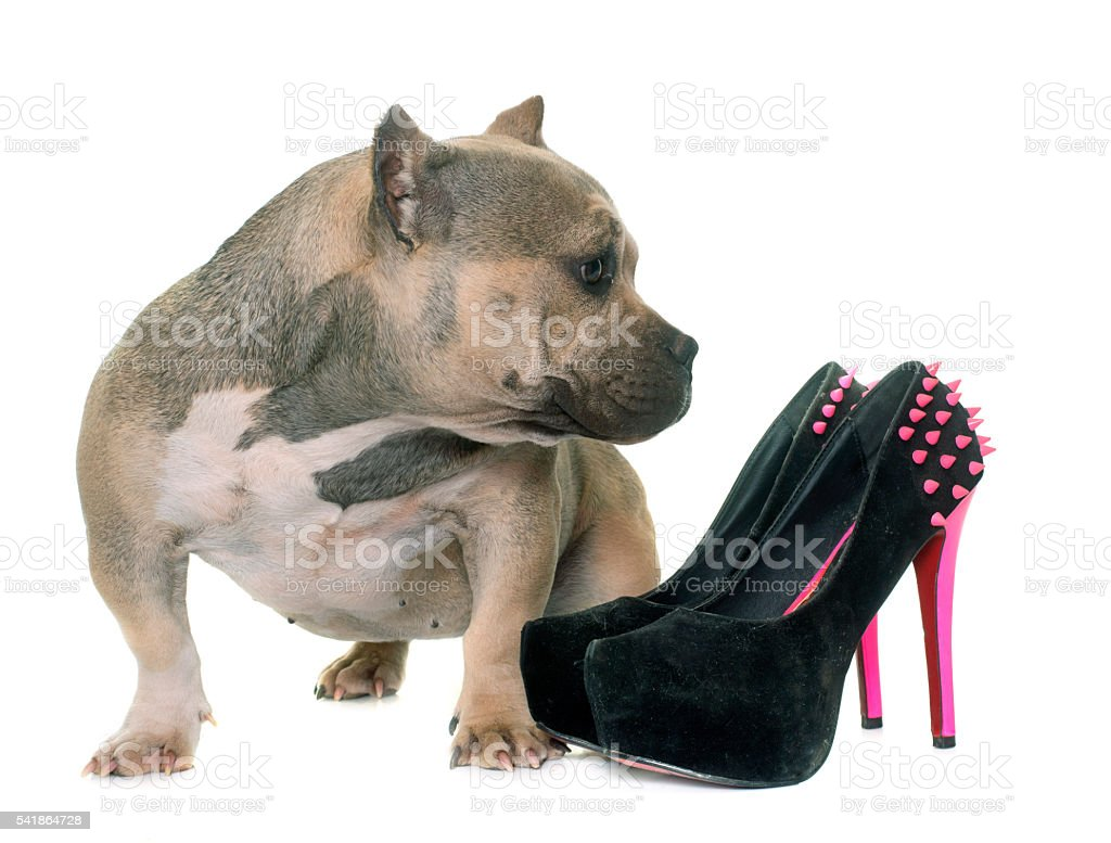 puppy american bully and platform shoes stock photo