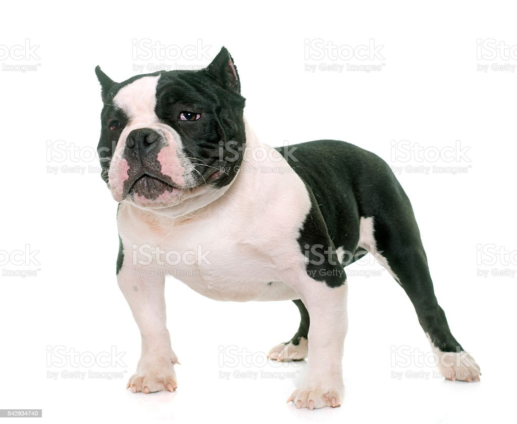 puppy american bully stock photo