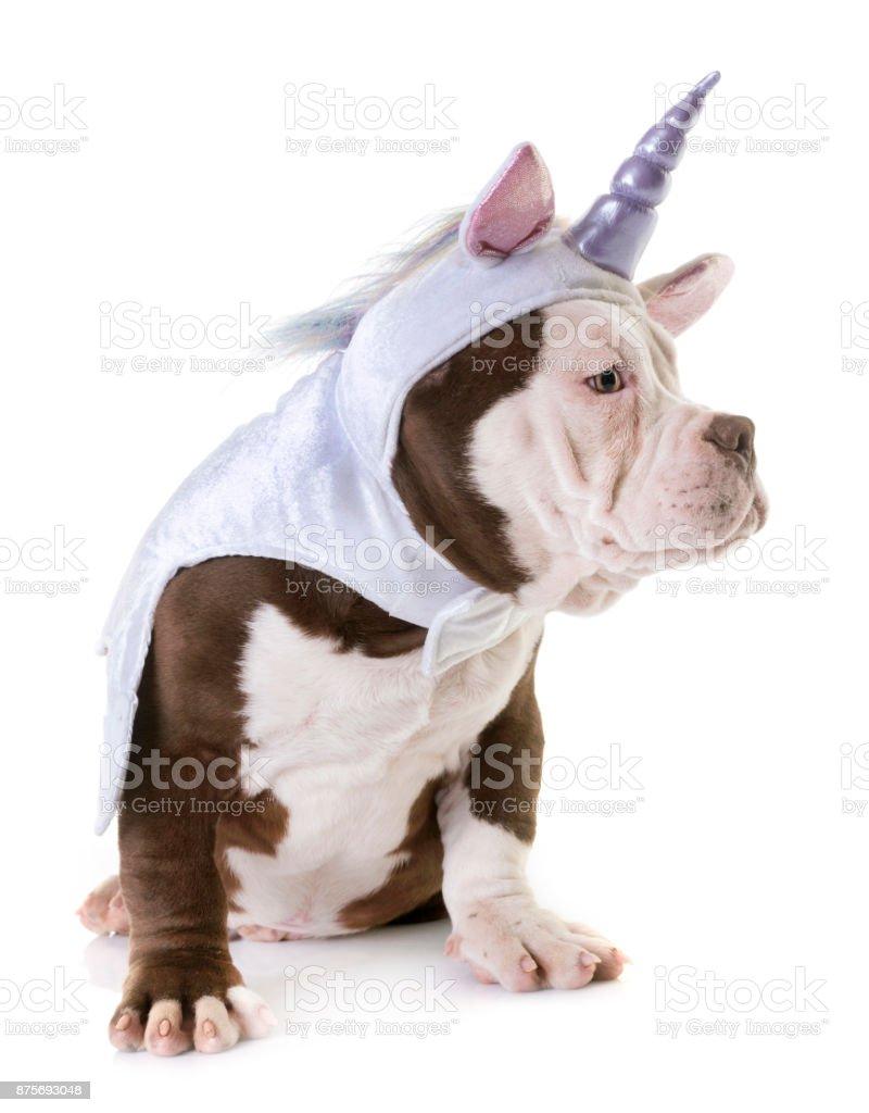 puppy american bully stock photo