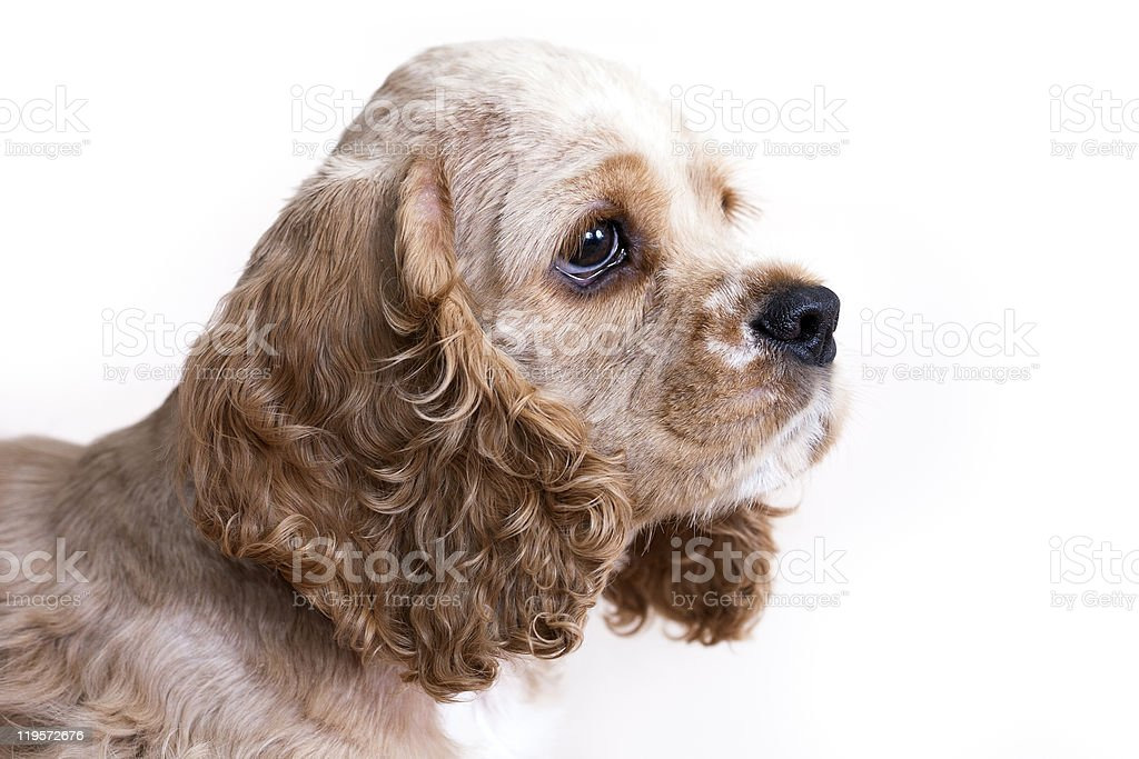 Puppy American Cocker Spaniel Breed stock photo