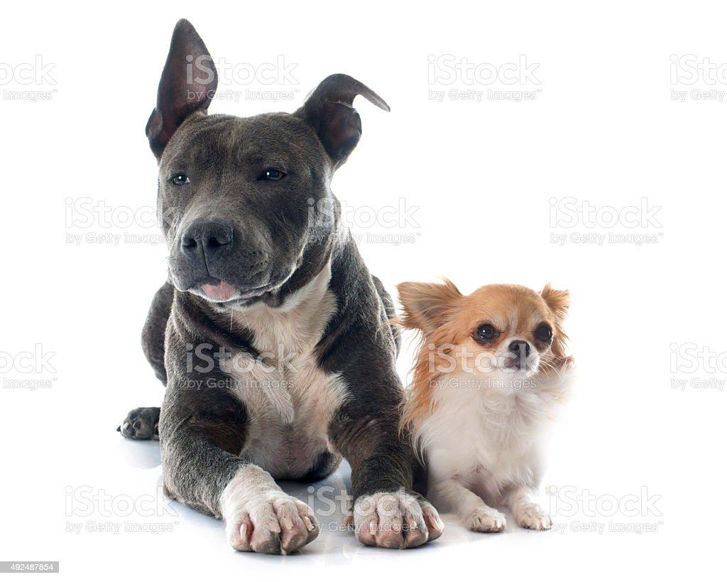 8b7608fa Amerykański Staffordshire Terier Szczeniak W I Chihuahua - zdjęcia ...