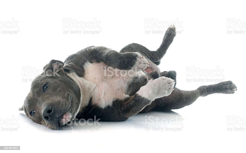 puppy american staffordshire terrier stock photo