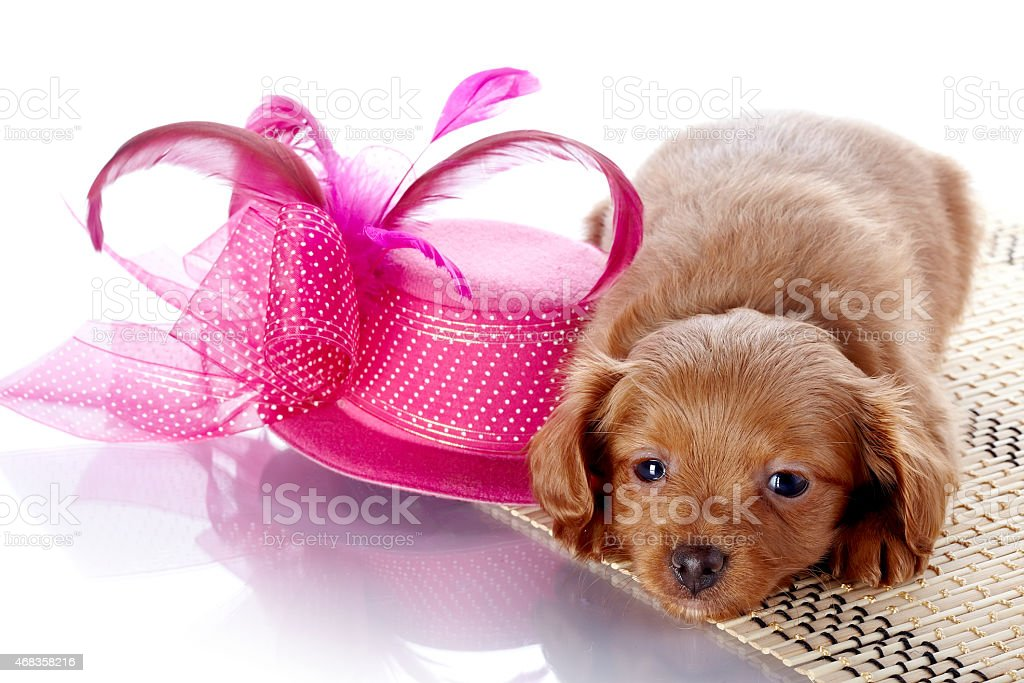 Puppy and a hat with feathers. royalty-free stock photo