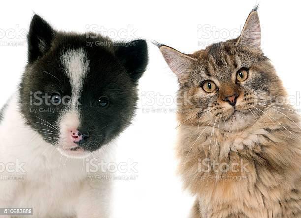 Puppy and cat picture id510683686?b=1&k=6&m=510683686&s=612x612&h=t2yvksadt6ark ipzmh3u3k6tva9efswshztdrj wsk=