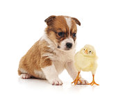 Puppy and chicken isolated on a white background.