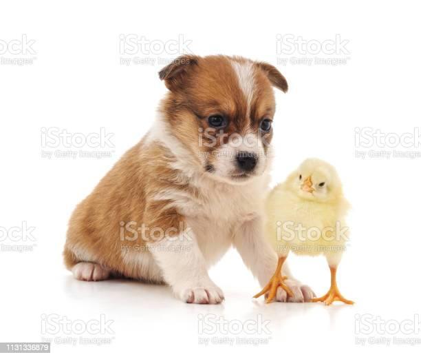 Puppy and chicken picture id1131336879?b=1&k=6&m=1131336879&s=612x612&h=xsoofn1vhod4zyzxmszxc jaf2c6egbcbzeeq 4wdi8=