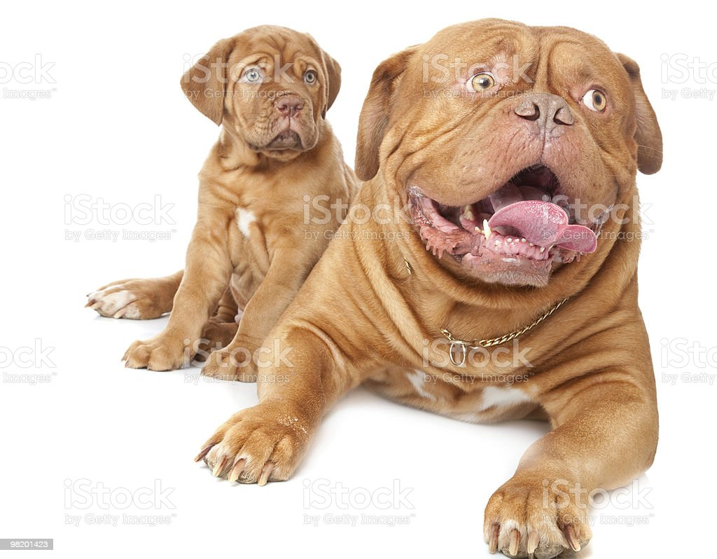 Puppy and dog of Dogue de Bordeaux (French mastiff) royalty-free stock photo