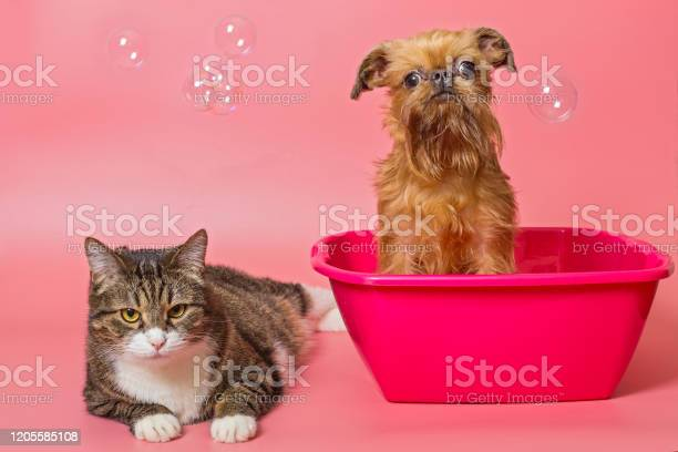 Puppy and gray cat is washed in pink pelvis picture id1205585108?b=1&k=6&m=1205585108&s=612x612&h=oqmkb dkqhw1pswrprihwsx7saakxawbebhupoxu0se=
