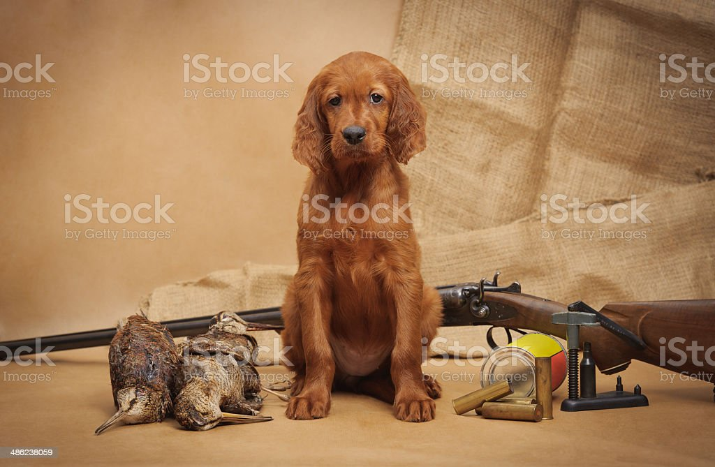Puppy and hunting accessories royalty-free stock photo