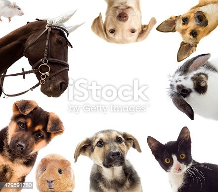 istock Puppy and kitten and guinea pig 479591780