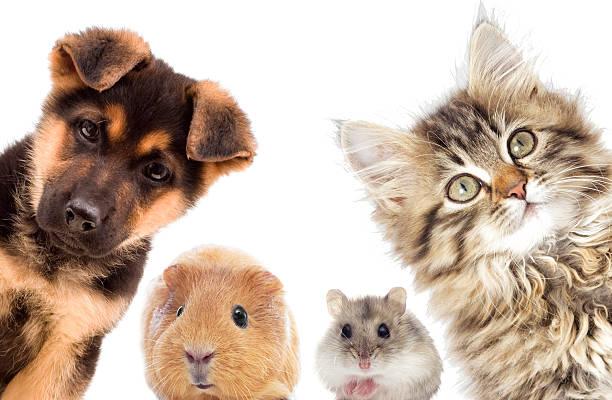 Welpen und Kätzchen und guinea pig – Foto