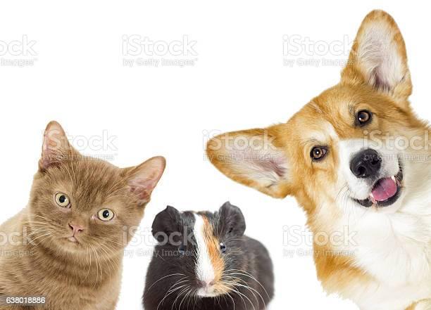 Puppy and kitten and guinea pig picture id638018886?b=1&k=6&m=638018886&s=612x612&h= enxapfwmwi3mvzcfwkdkh9izu mizg3lpfq oaawpy=