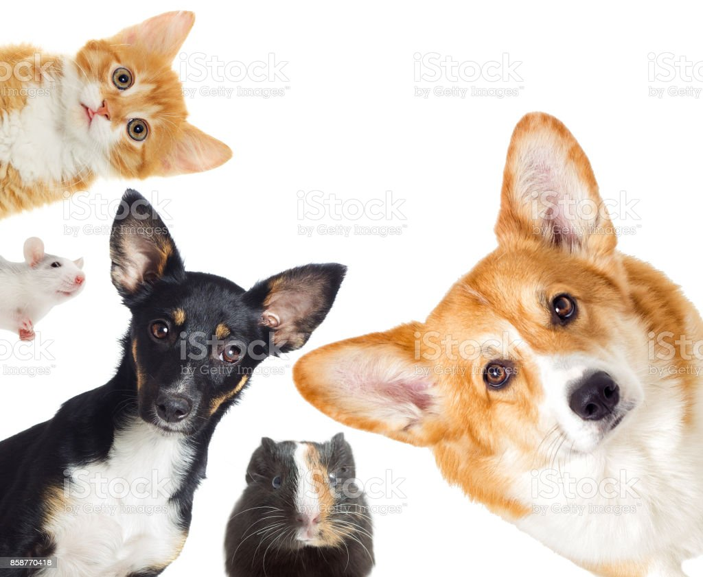 Puppy and kitten and guinea pig, set of pets stock photo