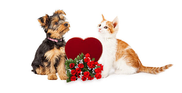 Puppy and Kitten Celebrating Valentines Day Cute kitten and puppy looking at each other with Valentine's Day candy heart box and roses kitten cute valentines day domestic cat stock pictures, royalty-free photos & images