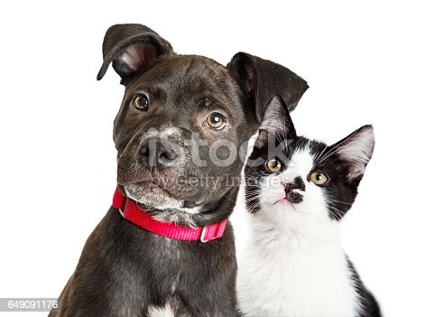 Portrait of a cute young mixed breed puppy and kitten with black and white fur
