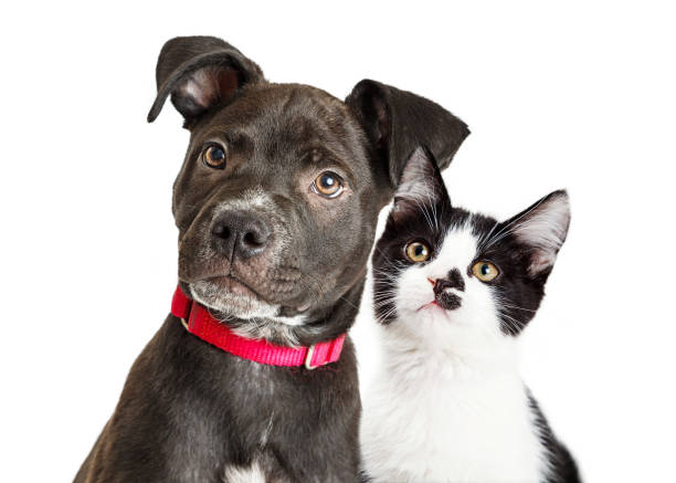 Puppy and Kitten Closeup Over White stock photo
