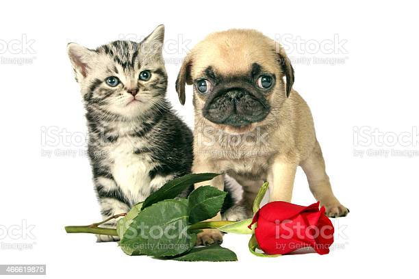 Puppy and kitten for present picture id466619875?b=1&k=6&m=466619875&s=612x612&h=zfqvygpafdtweqeou5jcner hsboe1rmuhjcmci2cwc=