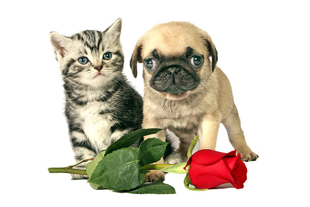 Puppy and kitten for present British Shorthair kitten and little Pug puppy with a red rose for Valentines day. kitten cute valentines day domestic cat stock pictures, royalty-free photos & images