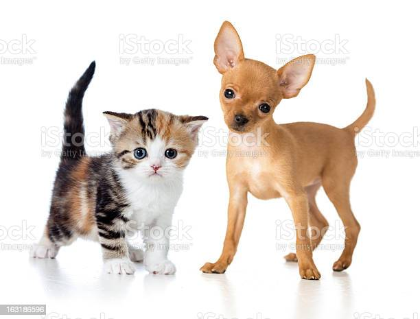 Puppy and kitten isolated on white picture id163186596?b=1&k=6&m=163186596&s=612x612&h=9l3h7wkwcdqsdjs7om9mevshcf zupwkhlcofh1pycq=