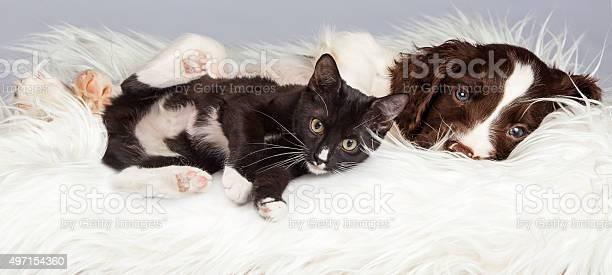 Puppy and kitten laying on furry blanket picture id497154360?b=1&k=6&m=497154360&s=612x612&h=5irawsfbgxzqdtg7rilmzy09bunozzi3p1m2gp8blyu=