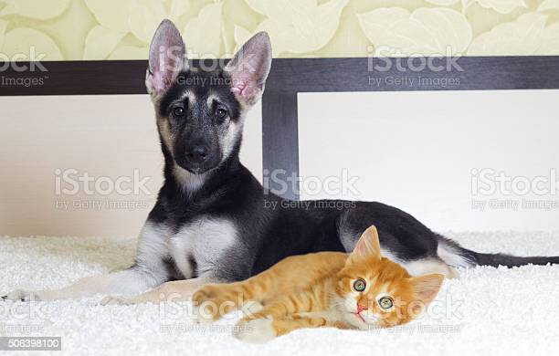 Puppy and kitten lying picture id506398100?b=1&k=6&m=506398100&s=612x612&h=anuxgzvfi6x3mragkxs9g8oft6i3z0 olgp9zycnghm=