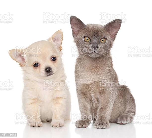 Puppy and kitten on white background picture id487476012?b=1&k=6&m=487476012&s=612x612&h=y9bcw7xsp0 yasecbdqf4yg7hvcgrngwimzpi4semh0=