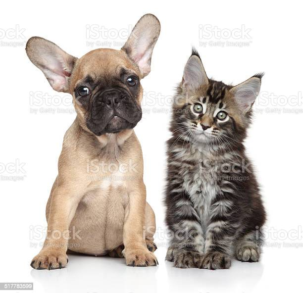 Puppy and kitten on white background picture id517783599?b=1&k=6&m=517783599&s=612x612&h=fo8sp952bqzu28h64ohvezaj  oq1pgkzeuwbtulfpw=