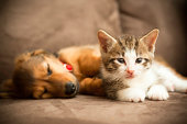 A friendly puppy and a kitten lie together on a couch