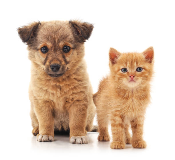 Puppy and kitten. Puppy and kitten isolated on a white background. kitten cute valentines day domestic cat stock pictures, royalty-free photos & images