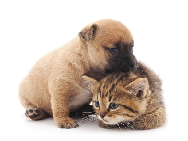 Puppy and kitten. Puppy and kitten isolated on white background. kitten cute valentines day domestic cat stock pictures, royalty-free photos & images