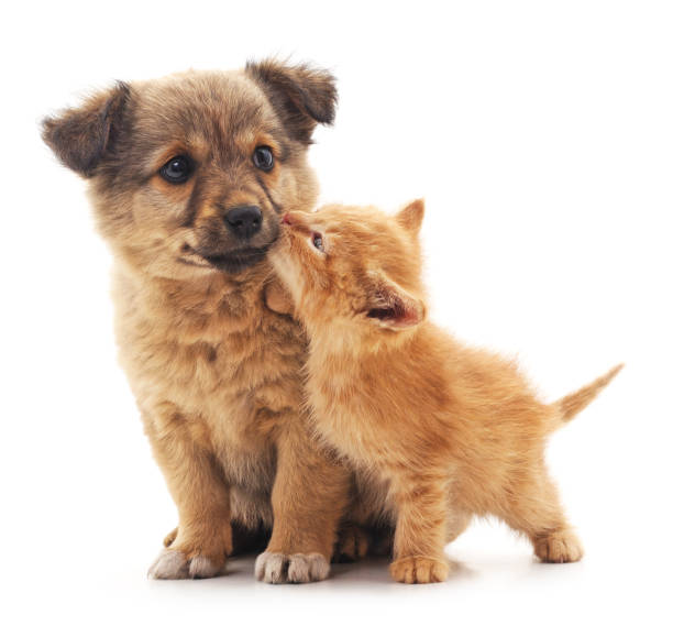 Puppy and kitten. Puppy and kitten isolated on white background. animal valentine stock pictures, royalty-free photos & images
