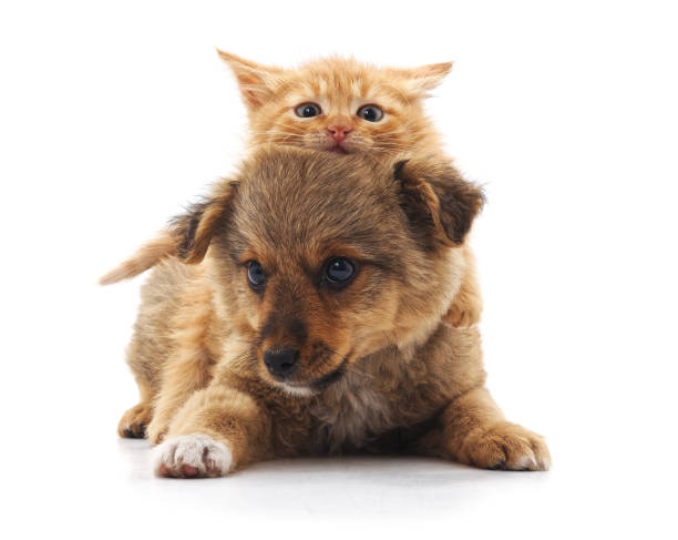 Puppy and kitten. Puppy and kitten isolated on a white background. ambush stock pictures, royalty-free photos & images