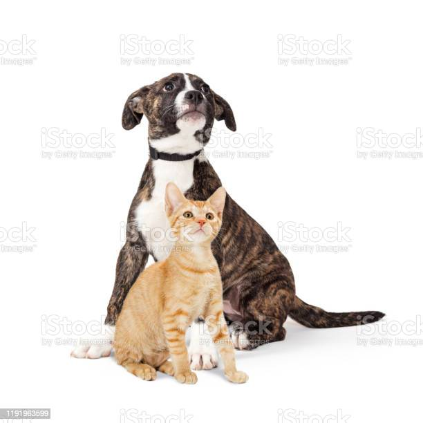 Puppy and kitten sitting together looking up on white picture id1191963599?b=1&k=6&m=1191963599&s=612x612&h=kjvtll0tggeekgriyrmktsgsfhikoj1g uqkl6ripku=
