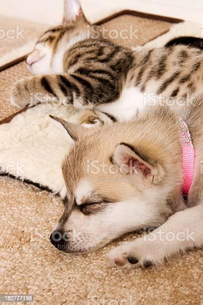 Puppy and kitten sleeping picture id182777198?b=1&k=6&m=182777198&s=612x612&h=4mrfnq e6a1ogr7fbw z3 ceyzjiifucggankurcvra=