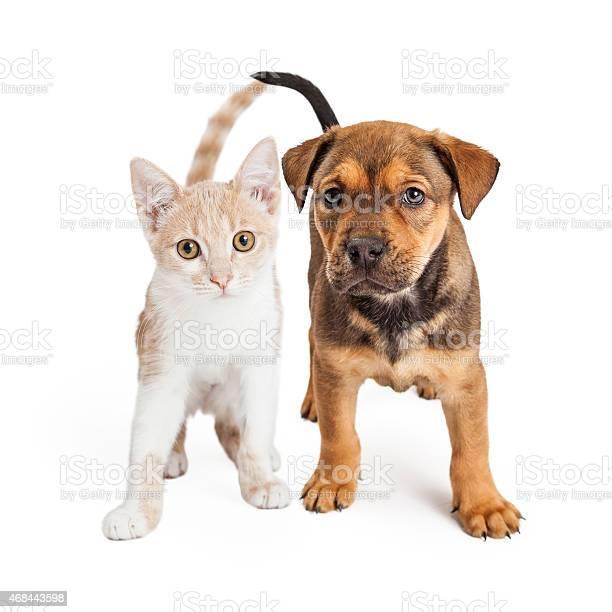 Puppy and kitten standing together picture id468443598?b=1&k=6&m=468443598&s=612x612&h=icvc pommthii92fdfkjwjdh9qovajzppzcrjimn86u=