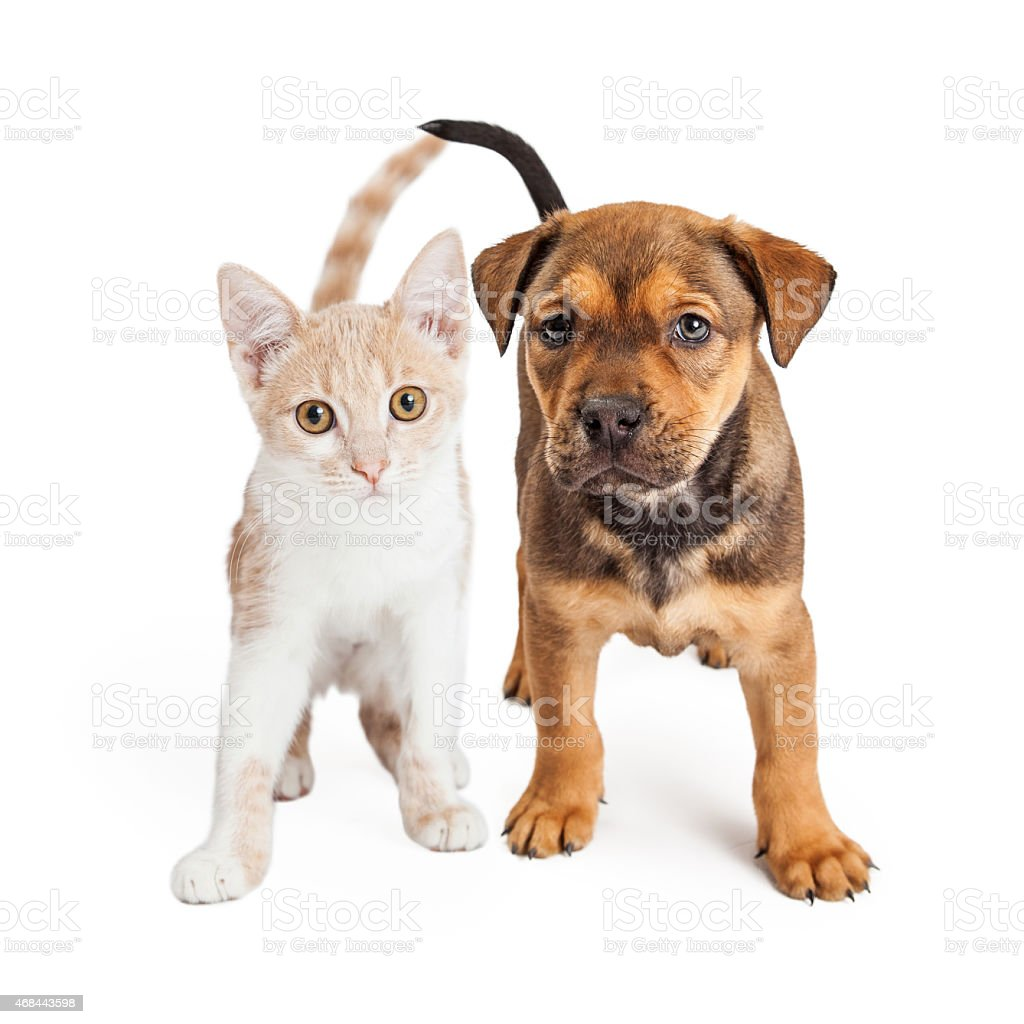 Puppy and Kitten Standing Together stock photo