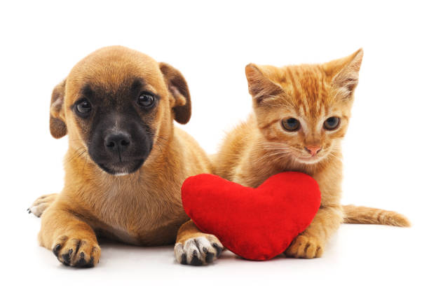 Puppy and kitten with heart. Puppy and kitten with heart isolated on white background. kitten cute valentines day domestic cat stock pictures, royalty-free photos & images