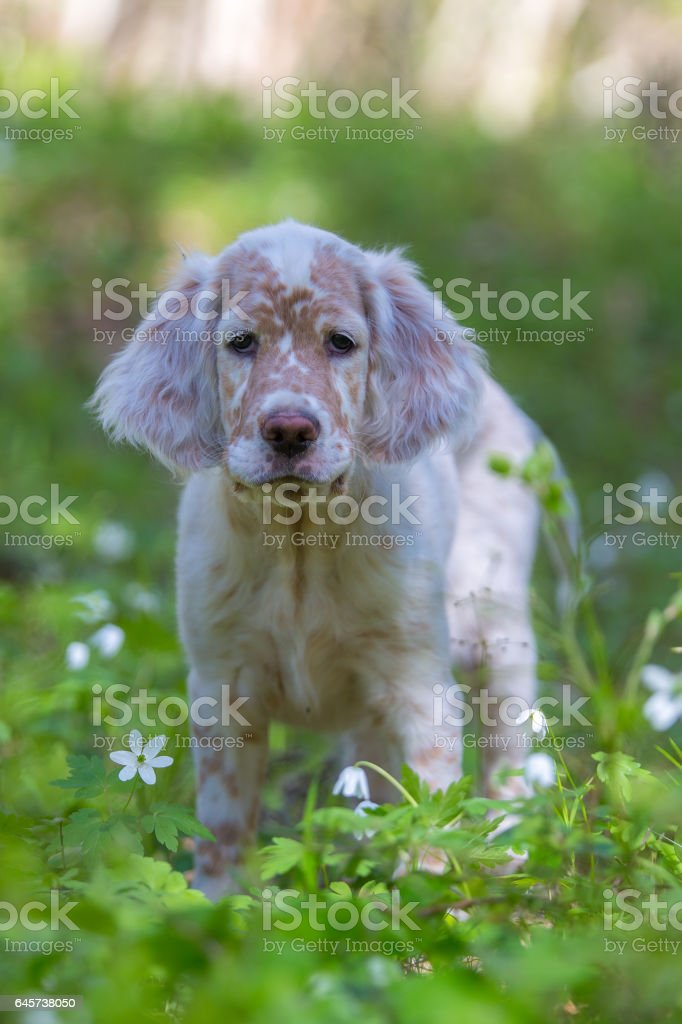 Puppy and spring stock photo