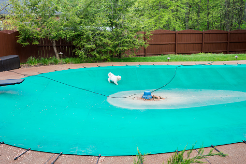 Little white dog trespasses onto a green pool cover over an inground swimming pool and walks toward the middle of the surface toward a water pump on a spring day