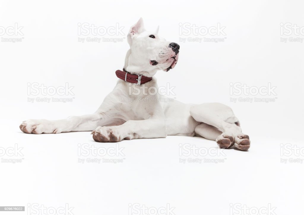 Puppy Dogo Argentino Stock Photo - Download Image Now - iStock