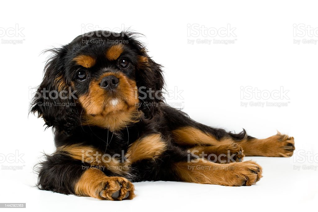 Puppy at rest royalty-free stock photo