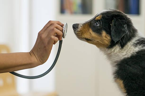 puppy at the vets office - veterinär, undersökning bildbanksfoton och bilder