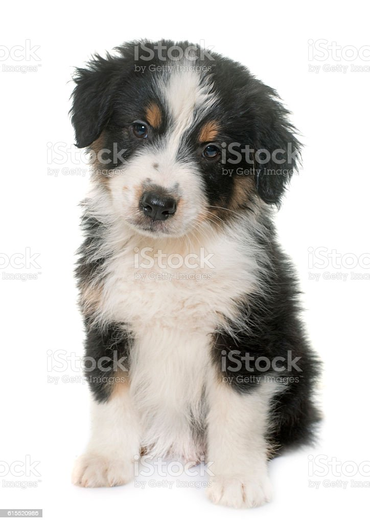 puppy australian shepherd in studio stock photo